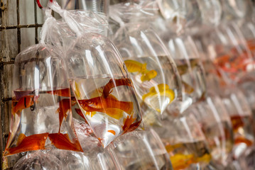 Exotic fishes at the Hong Kong Goldfish market - 3