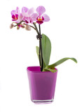 Orchid in a colored pot