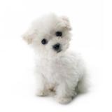 Cute small Bichon Frise puppy - 119846809