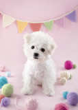 Cute small Bichon Frise puppy - 119846812