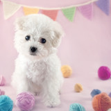 Cute small Bichon Frise puppy - 119846818