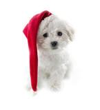 Small cute Bichon Frise puppy - 119846821