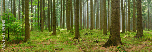 Spruce Tree Forest, Sunbeams through Fog, Creating a Mystic Atmosphere