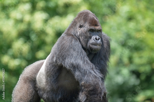 Poster Gorille male - Gorilla - en gros plan