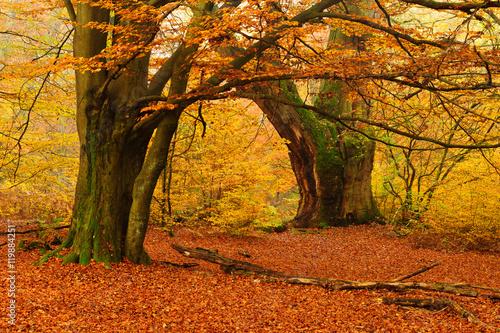 potezny-mech-dab-i-buk-w-jesiennym-lesie-liscie-zmienia-kolor