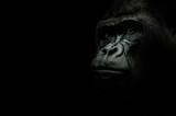 Portrait of a Gorilla isolated on black - 119888649