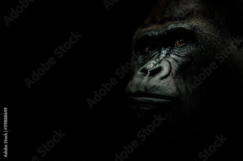 Plexiglas Aap Portrait of a Gorilla isolated on black