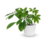 Houseplant - young Schefflera a potted plant isolated over white - 119943809