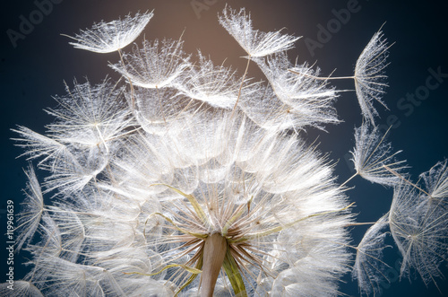 Dandelion seeds: Hopes, wishes and dreams: We fly away to fulfill wishes :) - 119961639