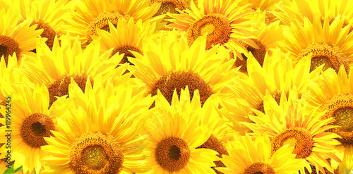 Poster Horizontal background with bright yellow sunflowers