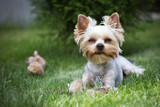 Yorkshire terrier on a green grass