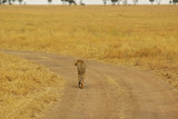 Wild animals of Africa: Cheetah
