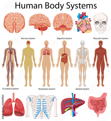 Tuinposter Kids Diagram showing human body systems