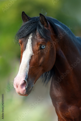 Beautiful bay horse with blue eyes close up portrait