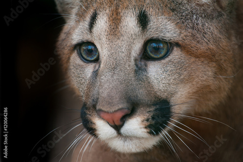 Juliste Puma portrait