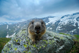 Fototapety Portrait of marmot. Cute sit up on its hind legs animal Marmot, Marmota marmota, in the nature habitat, Alp, Austria. Detail face portrait with wide angle lens with mountain habitat.
