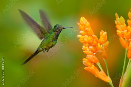 Cesarzowa genialny kolibra w locie. Zielony hummingbird z żółtym kwiatem. Piękny hummingbird z Kolumbii. Hummingbird w natura zwrotnika lesie. Hummingbird lata następnego ładnego żółtego kwiatu.