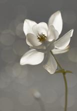 Weiße Akelei (Aquilegia) - Trauerkarte