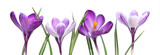 Crocus violets - 120106674