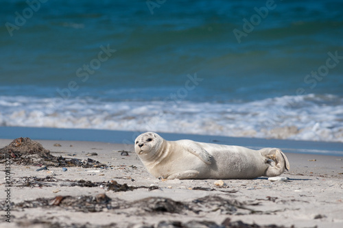 Juliste Seal baby lying on the beach of Helgoland and looking at you