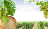 Background of vines with grapes, oak barrel and table grapes