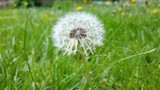 Dandelion among green grass/Dandelion among green grass