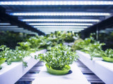 Greenhouse Plant row Grow with LED Light Indoor Farm Agriculture Technology - 120159859