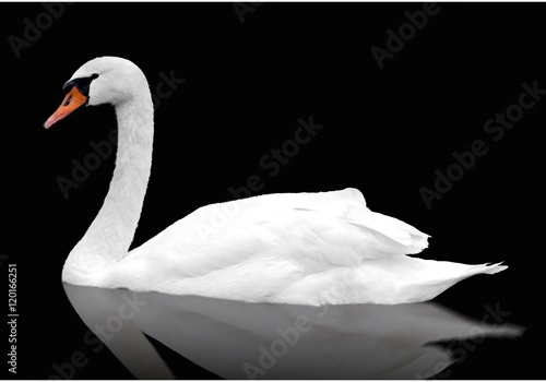 Fotobehang Zwaan White swan floats in water. bird isolated over black
