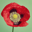 A big red poppy flower on a vibrant trendy green background