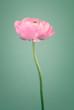 Beautiful pink  single ranunculus flower
