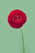 Single red persian buttercup flower on vintage green background