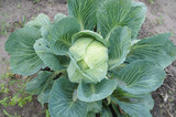 Headed white cabbage growing on the vine in the field
