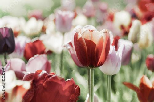 Zdjęcia na płótnie, fototapety na wymiar, obrazy na ścianę : tulpen gefärbt