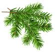 Green fluffy fir branch