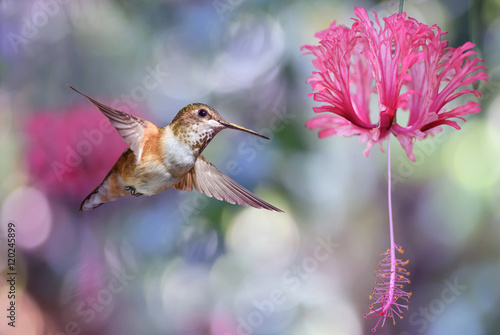 Plakát, Obraz Annas Hummingbird over blurred purple background
