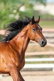 Bay horse portrait run outdoor