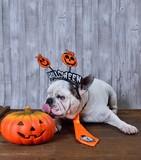 French bulldog licking a Halloween pumpkin