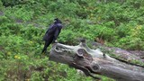 This video is about a black crow