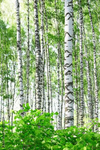 summer in birch forest - 120327821