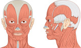Vector medical illustration of human neck, head and face muscles.