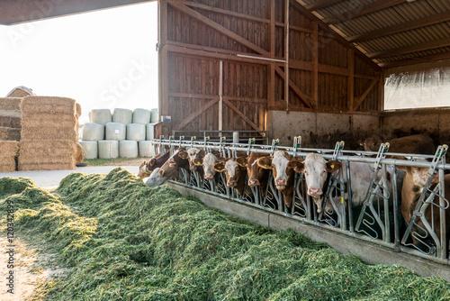 Kühe fressen Frischfutter