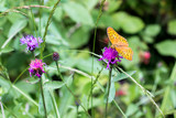 "a butterfly ""silver-washed fritillary"""