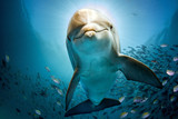 dolphin underwater on reef close coming to you - 120375607