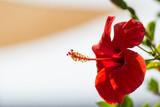 Fototapety Rote Hibiskusblüte