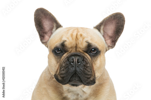 Foto op Canvas Franse bulldog Beautiful french bulldog dog