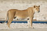 A lioness (Panthera leo) at a waterhole, Etosha National Park, Namibia.