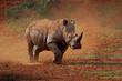 A white rhinoceros (Ceratotherium simum) walking in dust, South Africa.