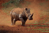 A white rhinoceros (Ceratotherium simum) walking in dust, South Africa.