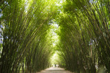 Bamboo Trees Tunnel