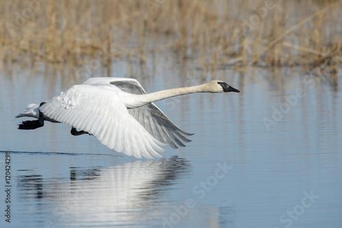 Trumpeter Swan in Flight low over water
